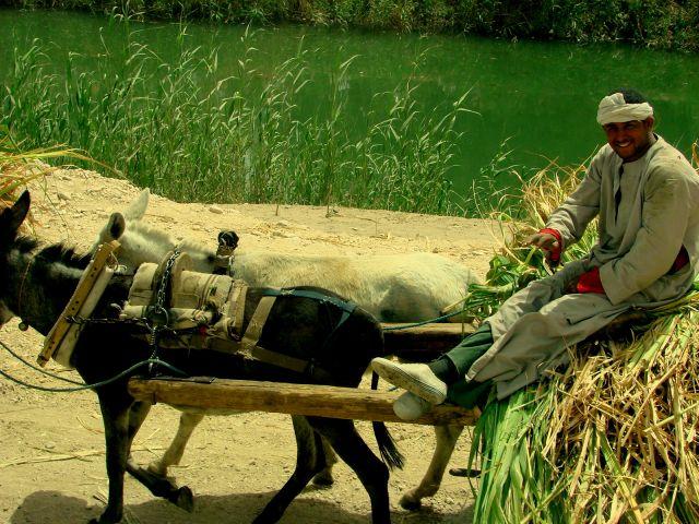 Zdjęcia: Luxor, Zwózka trzciny cukrowej, EGIPT