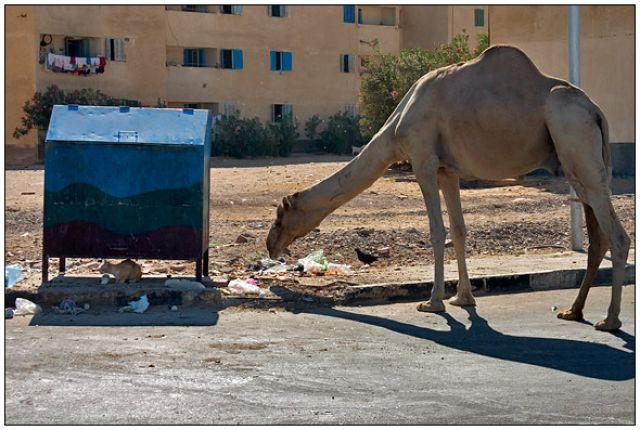 Zdjęcia: Ulica, gdzieś w trasie , Wielbłąd, EGIPT