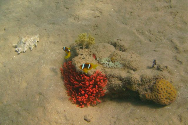 Zdj�cia: Ras Mohamed, Zatoka aqaba, b�azenki (Amphiprion bicinctus), EGIPT
