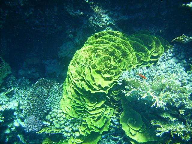 Zdjęcia: Ras Mohamed, zatoka Aqaba, zielony koral: Turbinaria mesenterina, EGIPT
