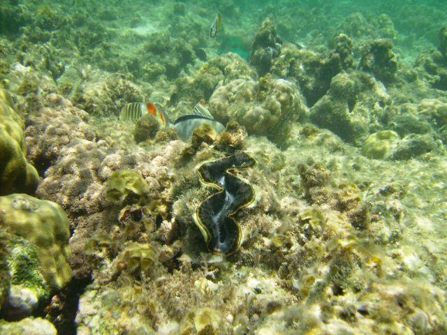 Zdjęcia: Sharm el Sheikh, zatoka Nabq, zatoka Aqaba, przedstawiciel mięczaków: Tridacna maxima , EGIPT