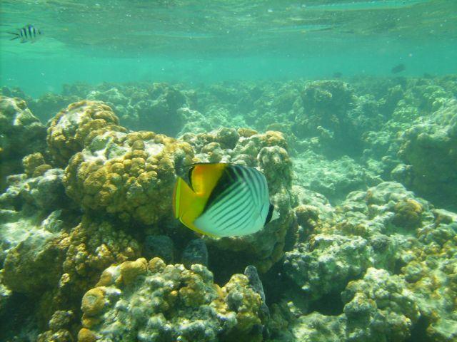 Zdj�cia: Sharm el Sheikh, zatoka Nabq, zatoka Aqaba, mieszkaniec rafy :Chaetodon auriga, EGIPT