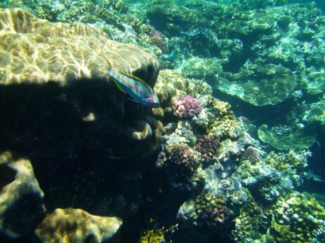 Zdjęcia: Sharm el Sheikh, zatoka Nabq, zatoka Aqaba, ryba Thalassoma klunzingeri, na tle korala Goniastera sp., EGIPT