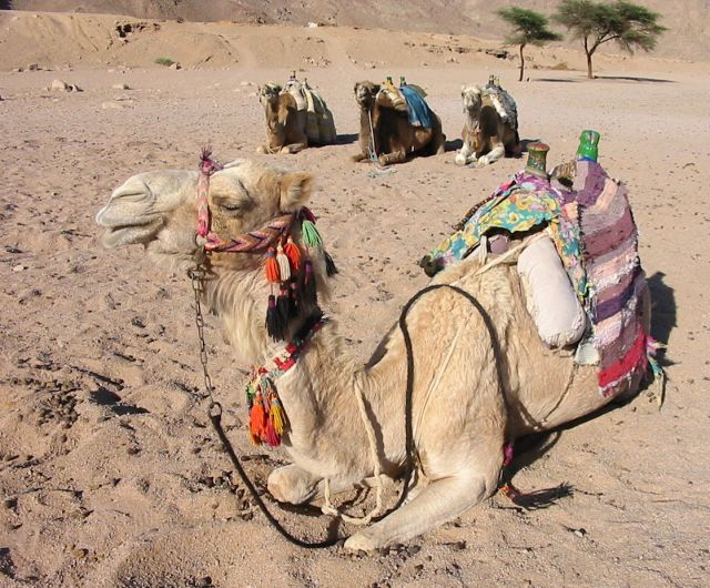Zdjęcia: pustynia, w oczekiwaniu na turystow, EGIPT