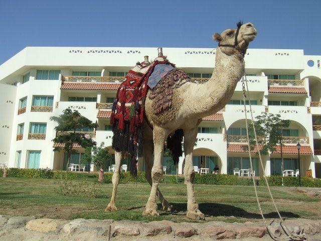 Zdjęcia: Taba, Półwysep Synaj, Przyjazny wielbłąd, EGIPT