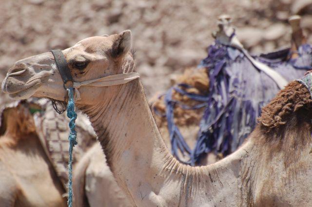 Zdjęcia: Dahab, Wielbłąd, EGIPT