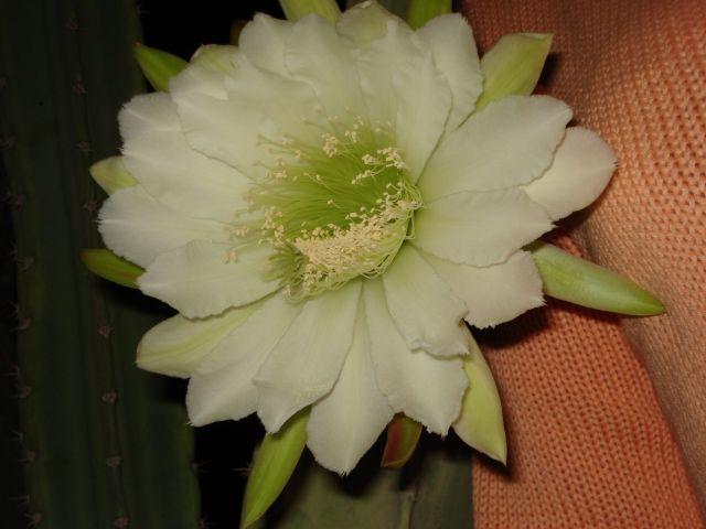 Zdjęcia: ogród, hurgada, kwiat kaktusa, EGIPT