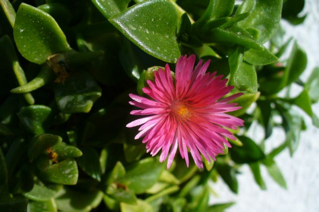 Zdjęcia: ogród, Hurgada, kwiatuszek , EGIPT