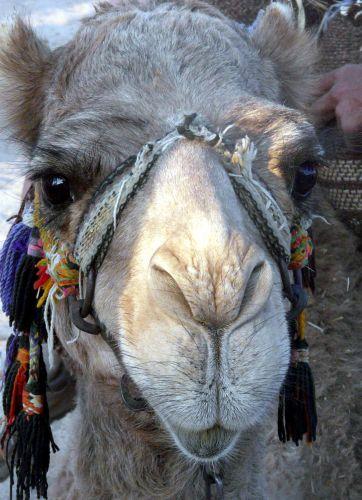 Zdjęcia: Okolice Hurghady, Afryka, Wielbłąd, EGIPT
