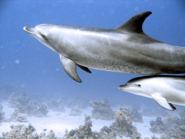 Zdjęcia: morze czerwone, delfin+m~łody, EGIPT