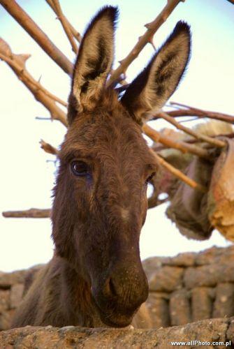 Zdjęcia: Luxor, Donkey in Gurnat Mura'i, EGIPT
