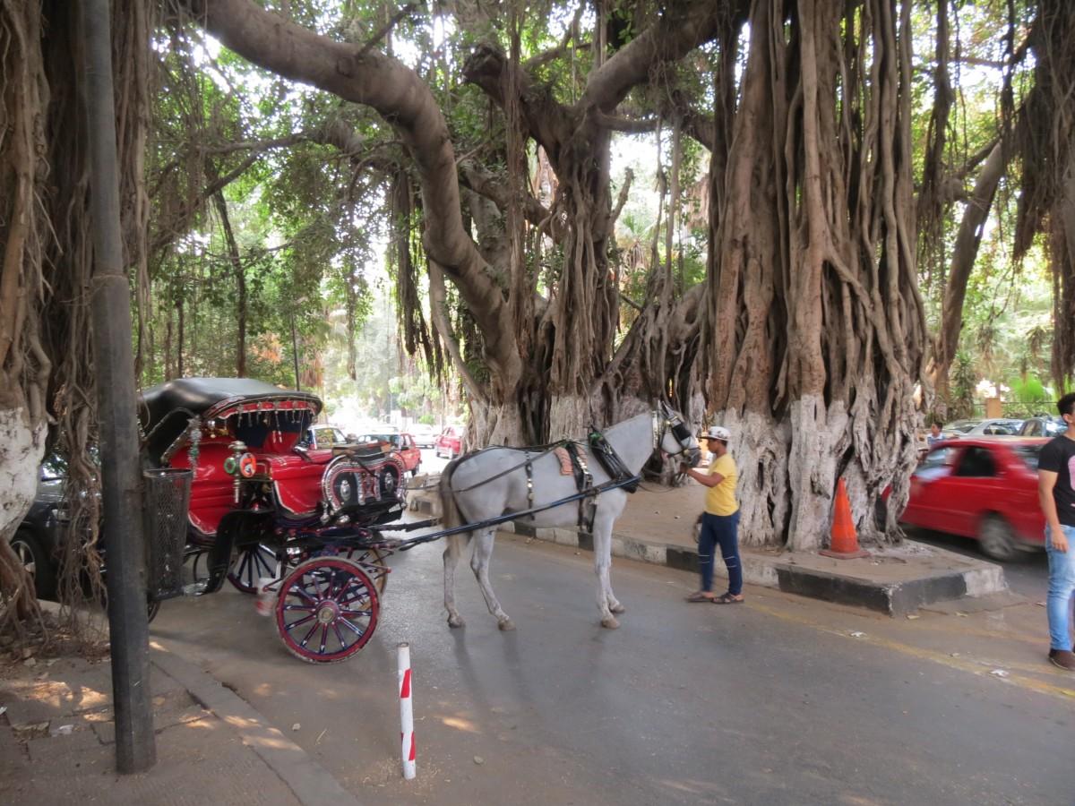 Zdjęcia: Zamalek, Kair , Baobab, EGIPT