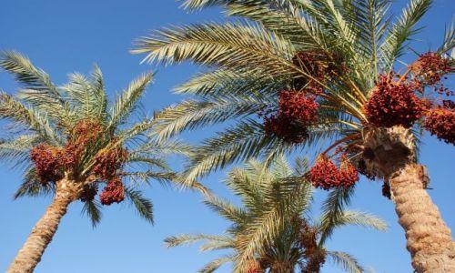 EGIPT / Półwysep Synaj / Sharm el Sheikh / Pod palmami