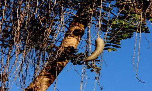 EGIPT / - / Luxor / Kiełbaskowe drzewo
