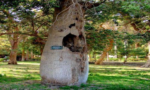 Zdjęcie EGIPT / - / Luxor / Drzewo