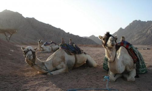 Zdjecie EGIPT / Sharm / pustynia / Wielbłądki