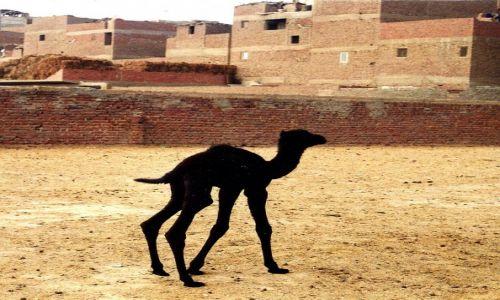 Zdjecie EGIPT / Kair /   / Wielbłądzik