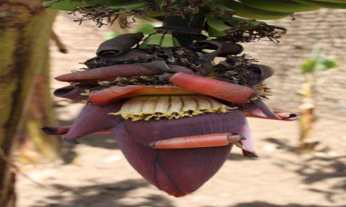 Zdjecie EGIPT / Assuan / Plantacja bananów / Kwiat bananowca