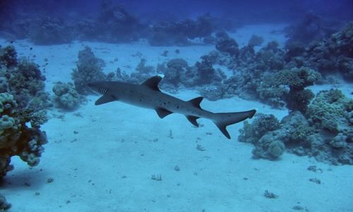 Zdjęcie EGIPT / Marsa Alam / Marsa Alam / whitetip reef shark
