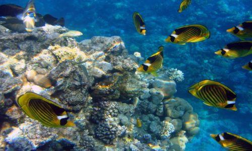 Zdjęcie EGIPT / Synaj / Morze Czerwone / Ustniczki Cesarskie