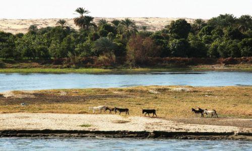 Zdjęcie EGIPT / Edfu / Nad Nilem / Krajobraz z osiołkami