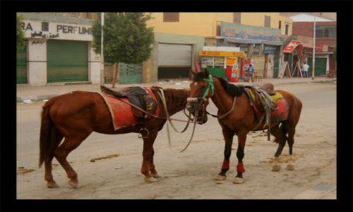Zdjecie EGIPT / giza / giza / konie dwa