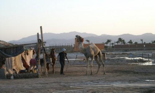 EGIPT / wybrzeże morza Czerwonego / Hurghada / w drodze na pastwisko