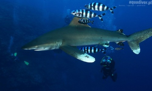 EGIPT / M Czerwone / Brothers Islands / Spotkanie z rekinem