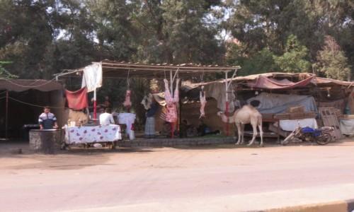 EGIPT / Afryka / Kair / Kebda Camel 3