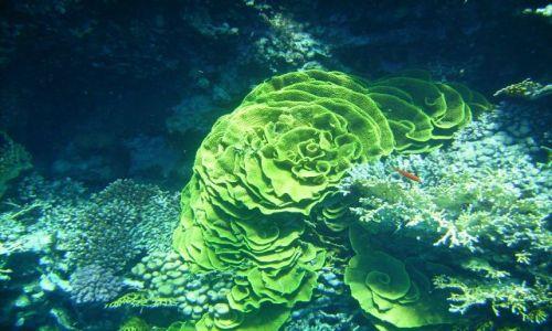 Zdjecie EGIPT / zatoka Aqaba / Ras Mohamed / zielony koral: Turbinaria mesenterina