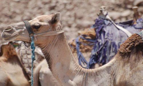 Zdjecie EGIPT / brak / Dahab / Wielbłąd