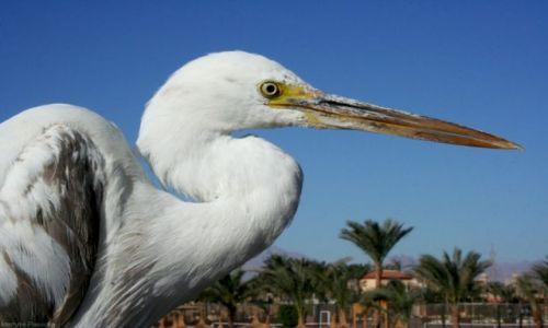 Zdjęcie EGIPT / Hurghada / Dana Beach Resort / Czapla