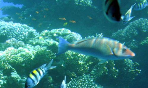 EGIPT / Synaj / Sharm el Sheikh / Rafa koralowa