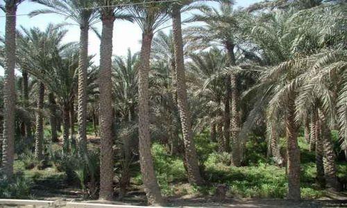 Zdjecie EGIPT / okolice Kairu / okolice Kairu / Palmy