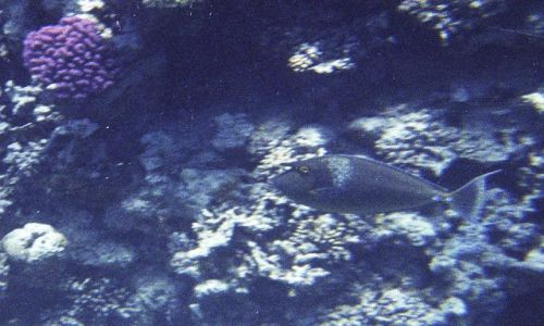 Zdjecie EGIPT / Sharm el - Sheikh / Sharm el - Sheikh / Naso brevirostris - Spotted unicornfish