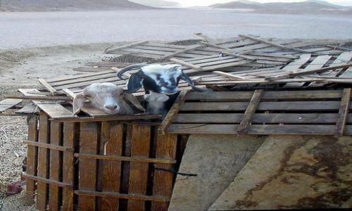 Zdjecie EGIPT / Okolice Hurgady / pustynia - wioska beduińska / A kuku !