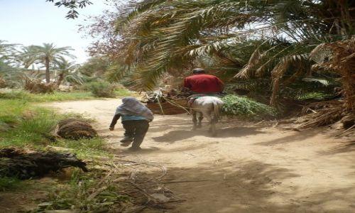 Zdjecie EGIPT / Oaza Baharija / Bawati / W palmowym gaju...