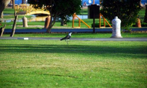 Zdjecie EGIPT / Taba  / przyhotelowy trawnik :)  / jaki to ptak ?