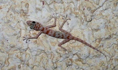 Zdjecie EGIPT / - / Amar Sina / Gecko