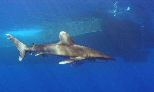 Zdjecie EGIPT / południe Egiptu / morze czerwone / rekin