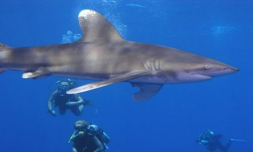 Zdjecie EGIPT / morze czerwone / Elphinstone reef / oceanic white tip shark