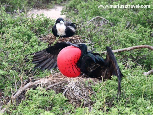 Zdjęcia: Galapagos, zaloty, EKWADOR