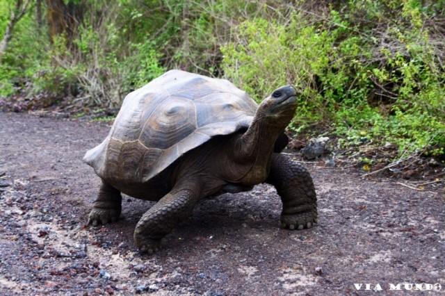 Zdjęcia: Galapagos, Wyspy Galapagos, Żółw, EKWADOR