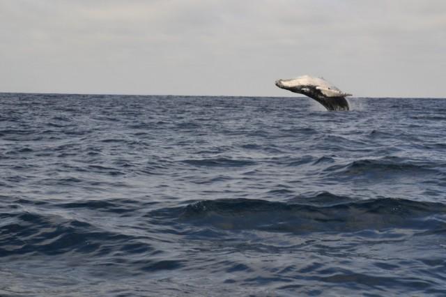 EKWADOR / Puerto Lopez / Puerto Lopez / Zaloty wielorybów