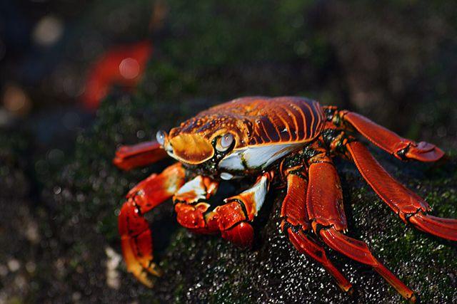 Zdjęcia: Galapagos, krab, EKWADOR