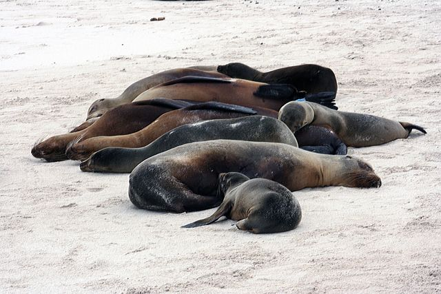 Zdjęcia: Galapagos, lwice morskie, EKWADOR