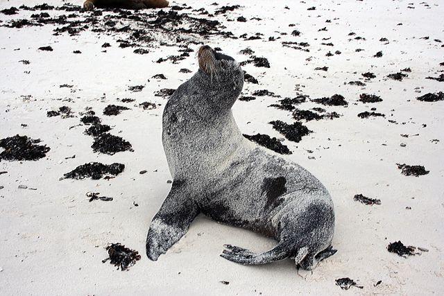 Zdjęcia: Galapagos, lwica morska, EKWADOR