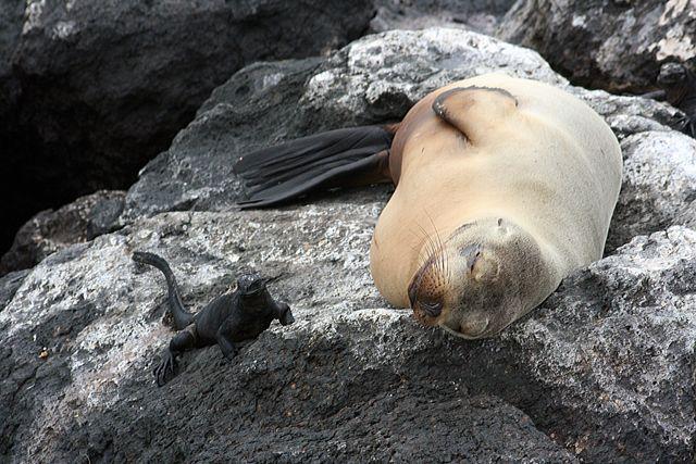 Zdjęcia: Galapagos, Lwica i iguana, EKWADOR