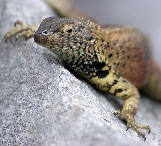 Zdjęcia: Galapagos, jaszczurka, EKWADOR