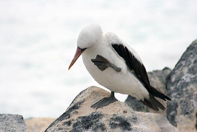 Zdjęcia: Galapagos, swędzi mnie za uchem. ale gdzie ja mam to ucho?, EKWADOR